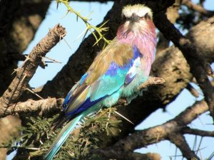 4-Day-Safari-Lilac-breasted-Roller