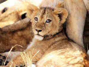 4-Day-Safari-Lion-cub-with-lion-mother