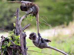 4-Day-Safari-Monkeys-playing-in-Tarangire