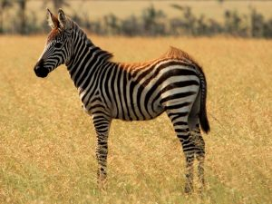 4-Day-Safari-Zebra-in-open-grass-plain-at-sunset