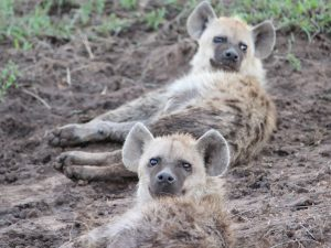 4 Day Camping Safari Serengeti - Hyenas in Serengeti National Park