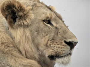 4 Day Camping Safari Serengeti - Lion Head close view