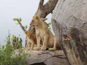 4 Day Camping Safari Serengeti - Lions on kopjes in Serengeti National Park