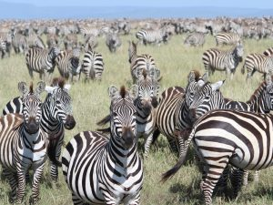 4 Day Camping Safari Serengeti - Zebra Migration in Serengeti National Park
