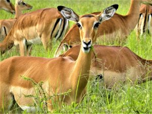 4 day camping safari to Tanzania's south - impala in Mikumi National Park