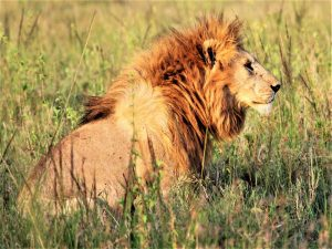 4 day camping safari to Tanzania's south - lion in Mikumi National Park