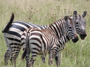 4 day camping safari to Tanzania's south - zebra family in Mikumi National Park
