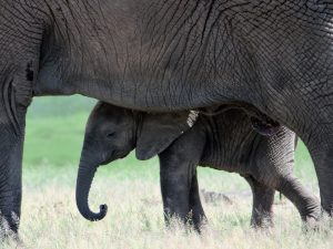 Private lodge safaris - elephant baby protected by mother in Mikumi National Park