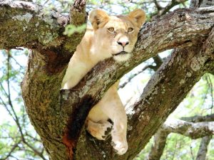 Private lodge safaris - lion relaxing in tree in Serengeti National Park