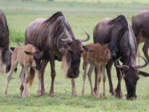 Private lodge safaris - wildebeest in Serengeti National Park