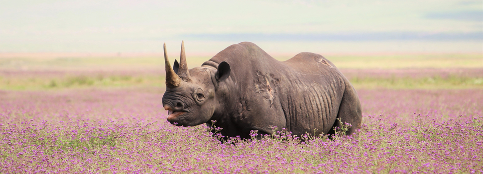 Rhino in Ngorongoro Crater - search for Tanzanias Big Five