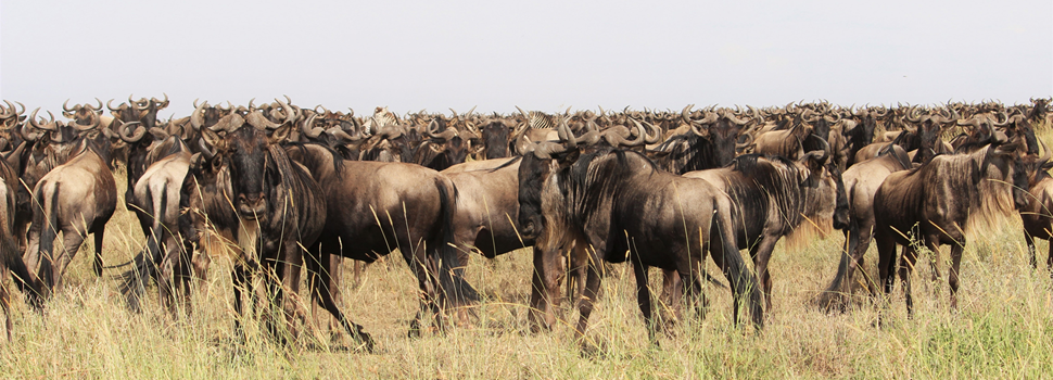 Tanzania Wildebeest Migration Serengeti - Follow the trek