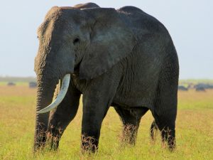 7 Day Camping Safari - Elephant walking
