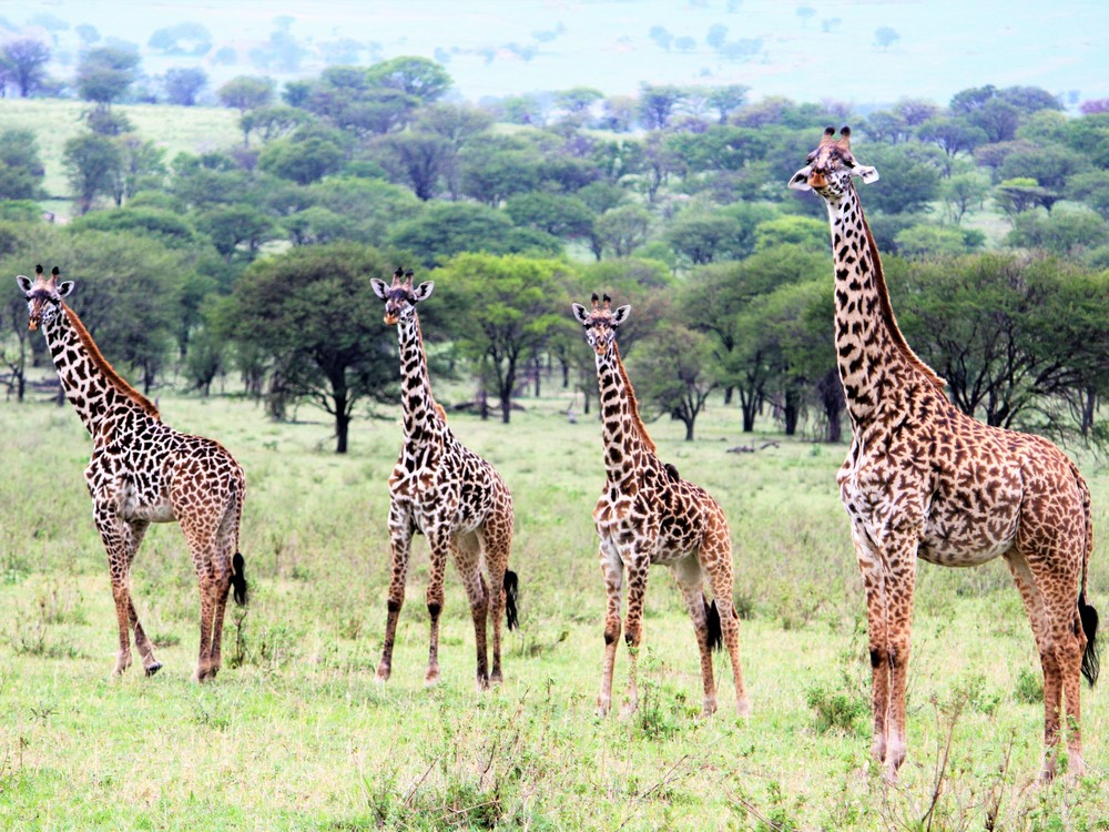 7 Day Camping Safari - Giraffes in Northern Serengeti