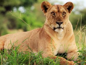 7 Day Camping Safari - Lion relaxing in grass in Serengeti National Park