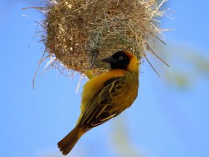7 Day Camping Safari - Weaver building a nest