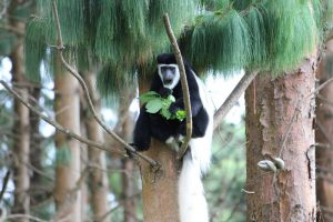 Arusha National Park - black-and-white colobus