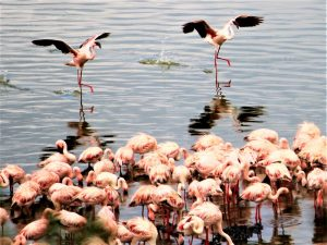 Arusha National Park - flamingos flying