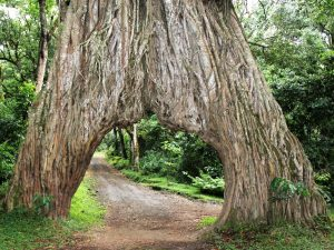 Arusha National Park - forest walk - fig tree arche