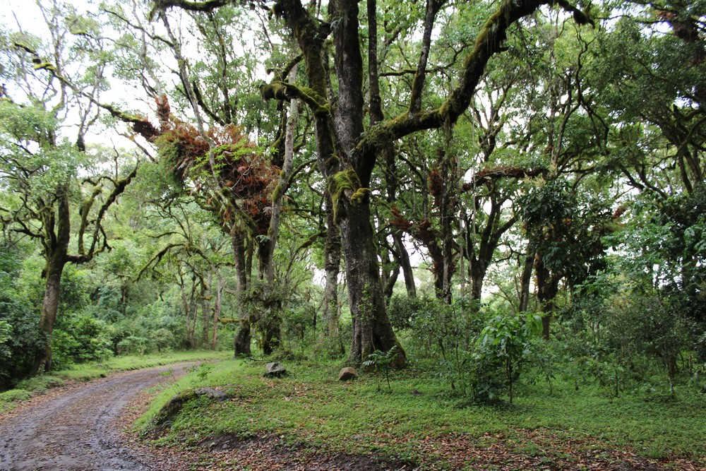 Arusha National Park - montane forest
