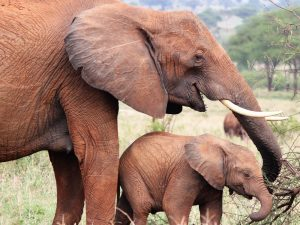 7 day lodge safari ruaha - Elephants in Mikumi National Park