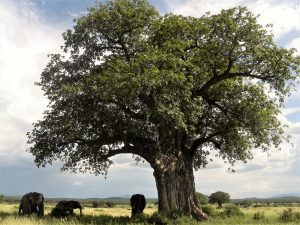 7 day lodge safari ruaha - elephants under baobab tree in Ruaha National Park