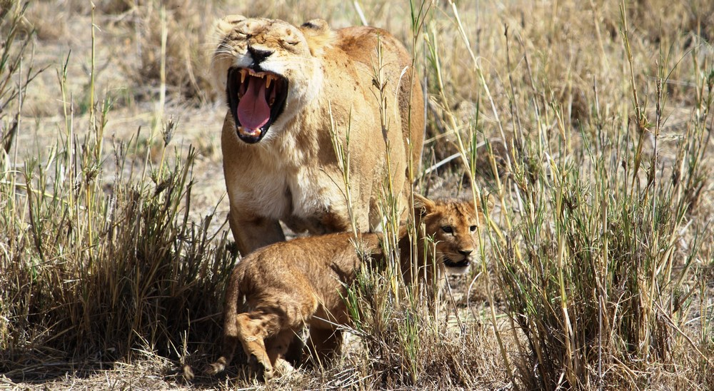 7 day lodge safari ruaha - lion with cub in Ruaha National Park