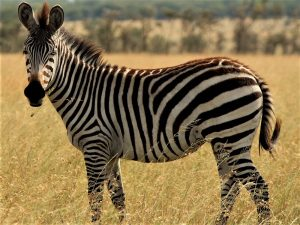 7 day lodge safari ruaha - zebra in Mikumi National Park
