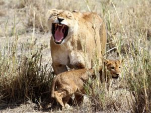 Ngorongoro Crater - mother lion with baby cub