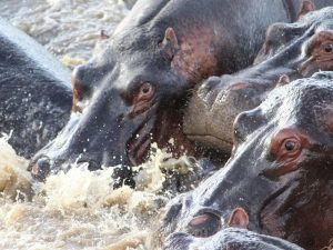 Tanzania's destinations - Hippos fighting for space in Katavi National Park