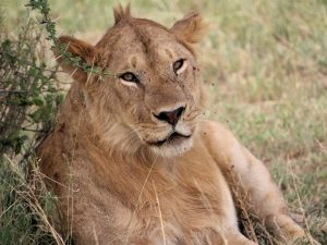 Tanzania's destinations - Lion relaxing in grass in Ruaha National Park