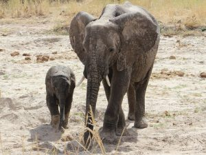Tarangire National Park - elephants walking in dry riverbed of Tarangire River