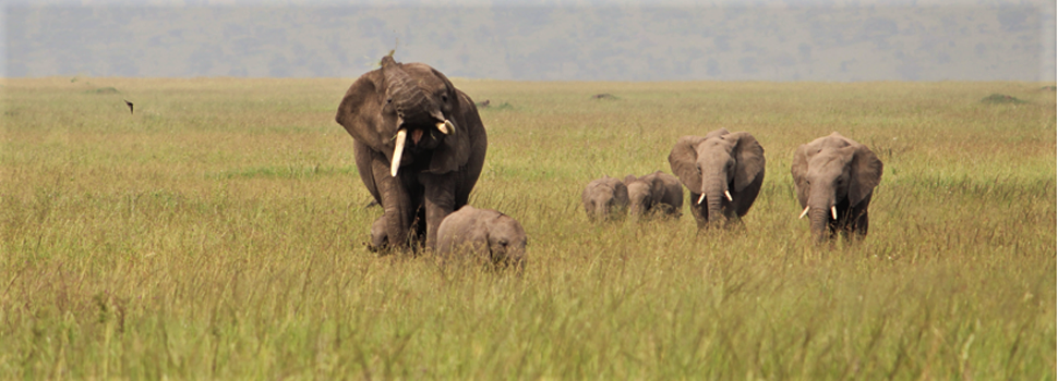 4-Day-Safari-Elephants-walking-inside-the-Ngorongoro-Crater