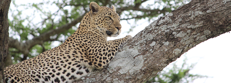 Safaris in Tanzania - Leopard in Serengeti National Park