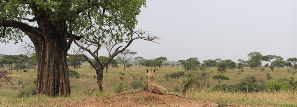 Tarangire National Park - Landscape with Baobab Tree and Lion